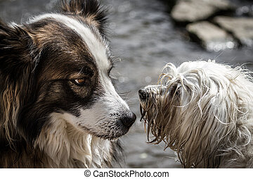 Talk - A mongrel dog and a Havanese dog will clarify who and...