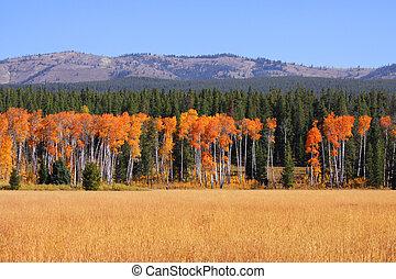 Tall Aspen trees in a row