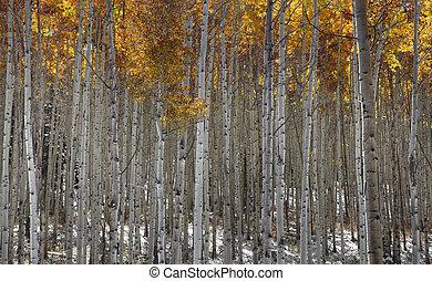 Tall Aspen trees