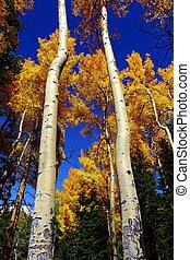 tall aspen trees with blue sky