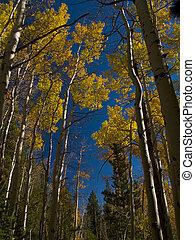 Tall Aspens in Autumn