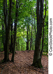 tall beech trees with green foliage. beautiful summer nature...