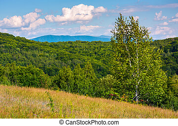 tall birch tree on grassy hillside in mountains. beautiful...