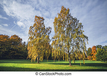 Tall birch trees in autumn colors