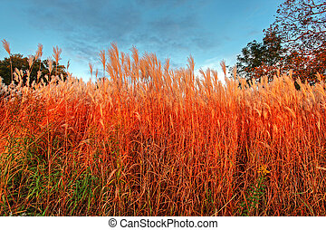 tall blades of grass in the setting sun