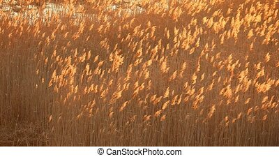 Tall Dry Grass Swayed In Wind In Meadow Landscape. Nature Of...