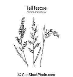 Tall fescue Festuca arundinacea , ornamental and forage plant. Hand drawn botanical vector illustration