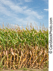 Tall Field of Corn Ready for Harvest in Vertical.