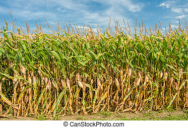 Tall Field of Corn Ready for Harvest