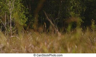 Tall Forest Grass, Qld Island, Australia