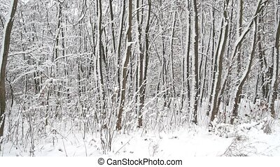 Tall forest trees covered with snow.