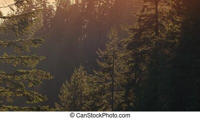 Tall Forest Trees In Sunset Haze