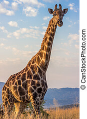 Giraffe with blue sky