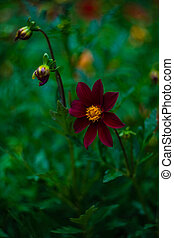 Tall Gold and Burgundy Coreopsis Tinctoria Wildflowers /Tall...