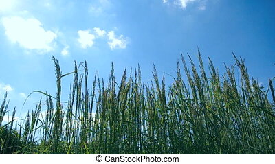 Tall grass and wind - Tall grass swinging in the wind. HD...