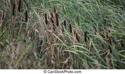 Tall grass blowing in the breeze. Summer