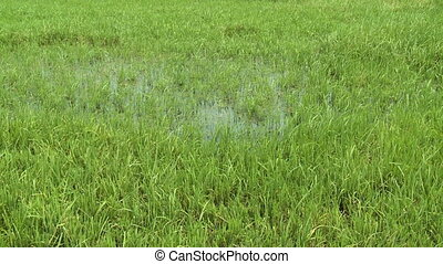 Tall grass growing from a puddle