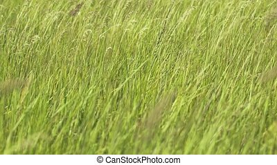 Tall Grass in a Meadow Sways in a Gentle Breeze - Tall ...