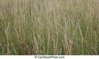 Tall grass in a meadow - Tall grass blowing in the wind in a...