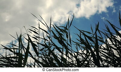 Tall Grass in Wind - Tall grass at windy day