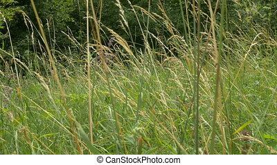 Tall Grass on Glade - Tall grass and others herbs grown on...