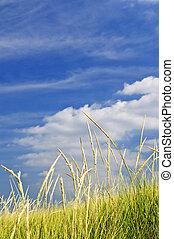 Tall grass on sand dunes - Tall green grass growing on sand...