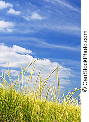 Tall grass on sand dunes - Tall green grass growing on sand...