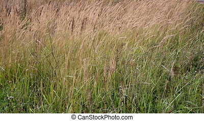 Tall grass stalks completely swayed by the strong wind -...