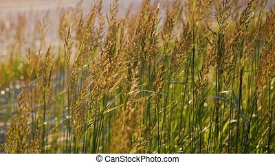 tall grass swaying in the sunset in the summer