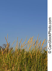 Tall grass - Tall desert grass against blue sky background