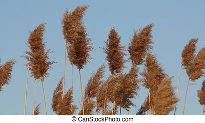Tall Grass - Tall grass swaying on an isolated blue sky.