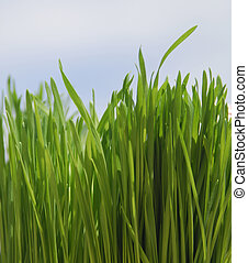 view of tall green grass looking up to sky
