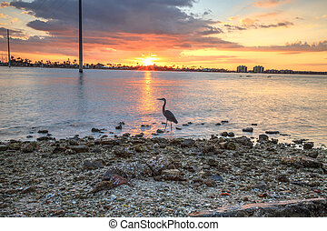Tall Great blue heron Ardea herodias stands in front of a sunset