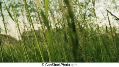 Tall green grass closeup - Tall grass and weed macro moving ...