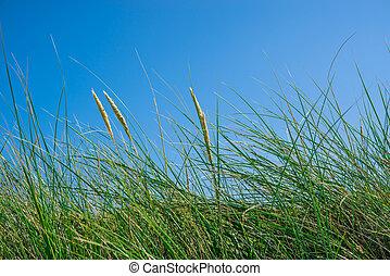 Tall green grass on a blue sky