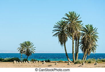 tall green palm trees on the shores of the Red Sea in Egypt Dahab