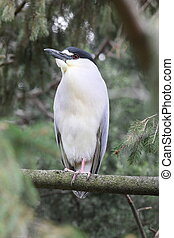 tall heron - Heron perched in pine trees.