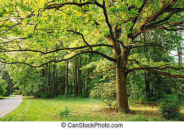 Tall Oak Tree in Summer Park. Spring Nature. Deciduous Forest