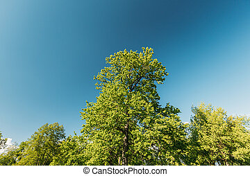 Tall Oak Trees With Young Spring Foliage Leaves. Spring Upper Branches Of Woods In Deciduous Forest Park. Beautiful Nature