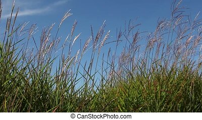 Tall Ornamental Grass with Plume Swaying against Clear Blue...