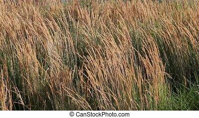 Tall Ornamental Reed Grass 1080p