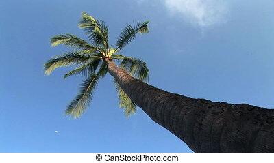 Tall Palm Tree - Looking up at a palm tree, Hawaii, Big...