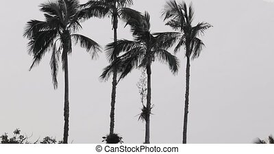 Tall palm trees in breeze - Tall palm trees in the wind, ...