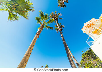 Tall palm trees in Laguna Beach seen from below