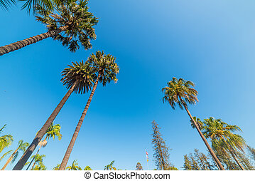 tall palm trees in Santa Barbara
