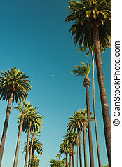 Tall palms of Beverly Hills in Los Angeles r