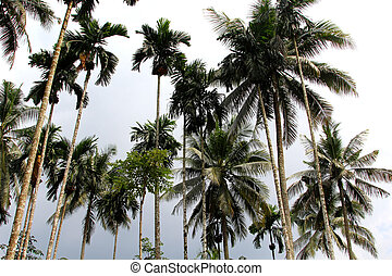 Tall palmtrees across the sky - Tall and beautiful palmtrees...