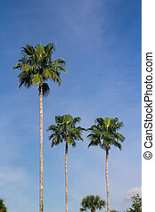 tall palmtrees over blue sky