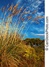 Tall pampas grass in autumn against a beautiful blue sky