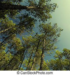TALL PINE FOREST - Tall pine trees and blue sky. Pine forest...